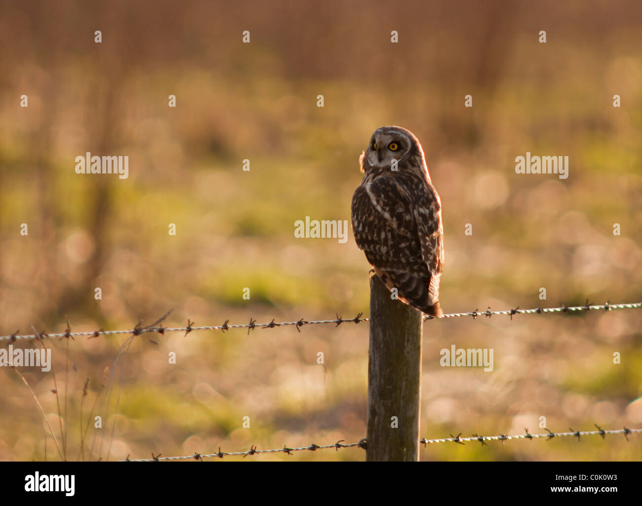 Wild Short Eared Owl perched on wooden fence post in North Lincolnshire Stock Photo