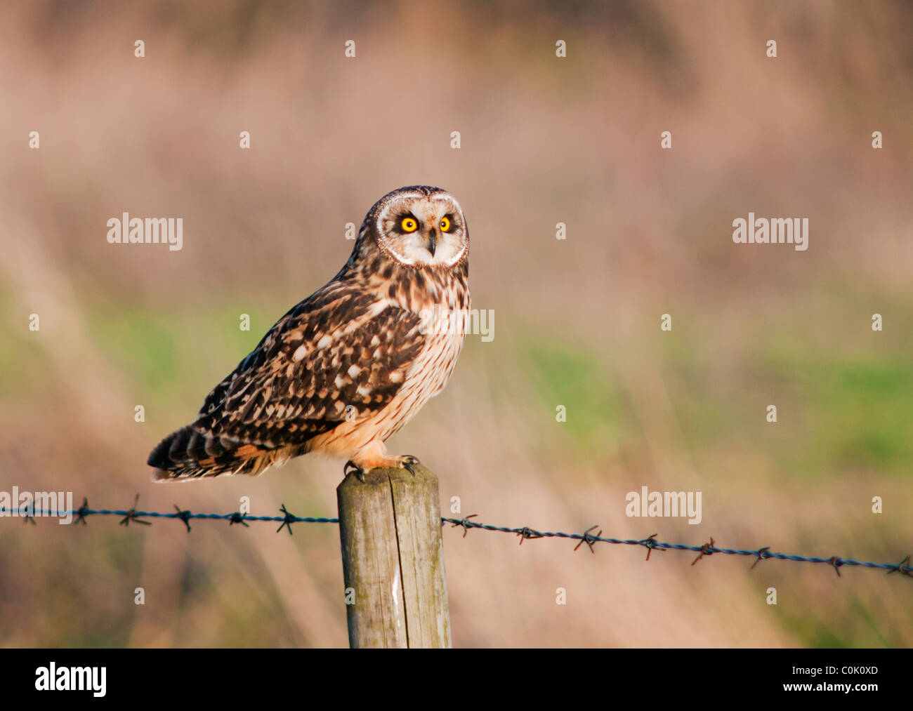 Wild Short Eared Owl perched on wooden fence post in North Lincolnshire - Stock Image