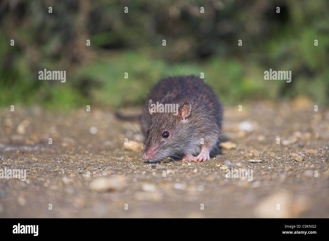 Brown Rat Rattus norvegicus searching for food at Radipole Lake, Dorset in October. - Stock Image