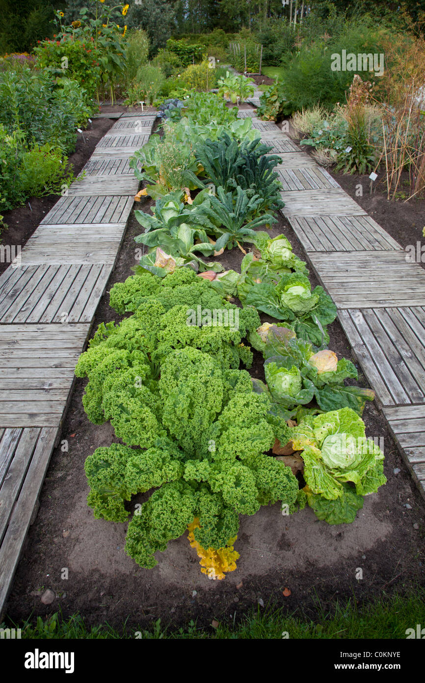 Specimens of different cabbage species growing at Oulu University Botanical Garden - Stock Image