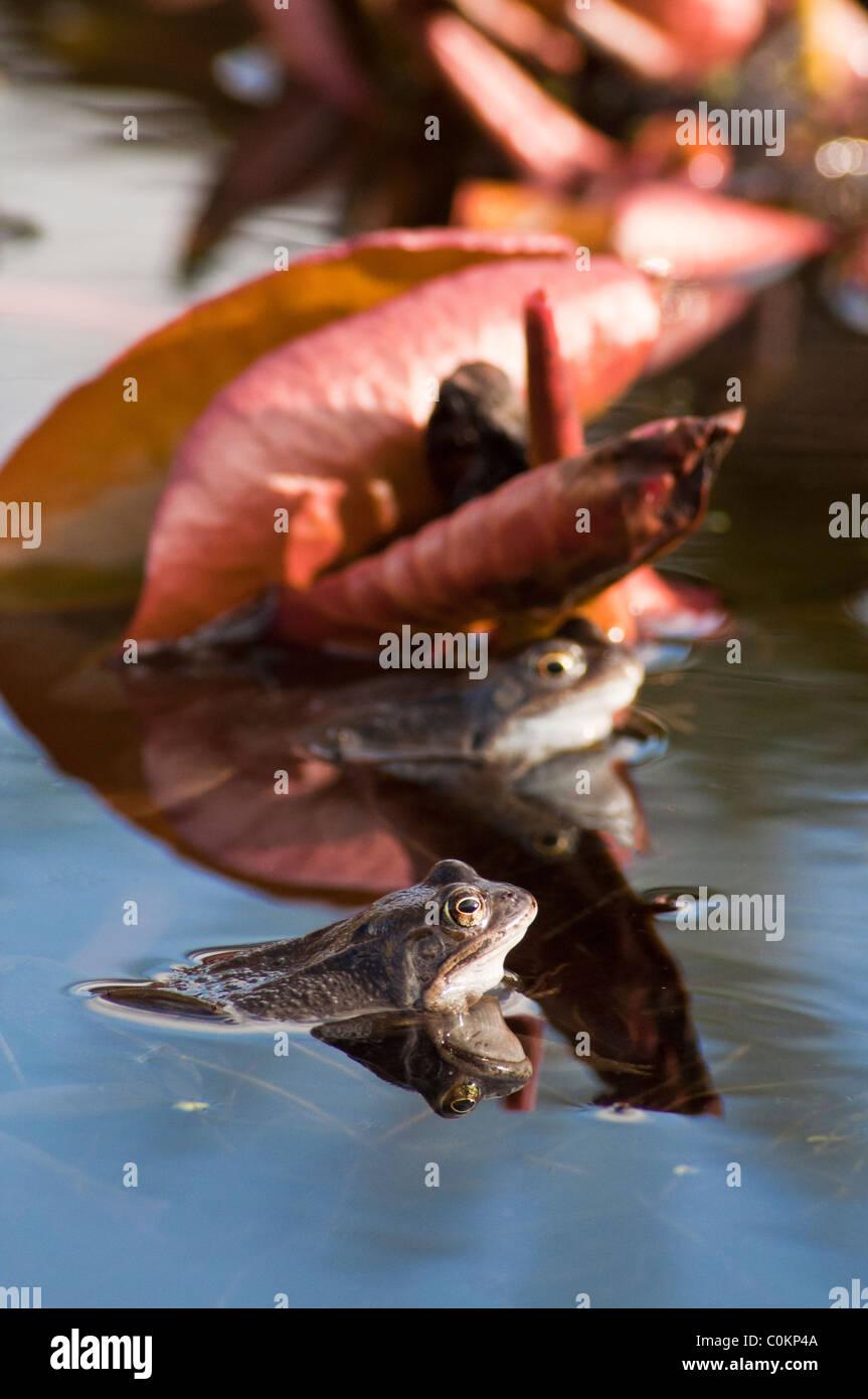 pond common frog water garden Rana temporaria - Stock Image
