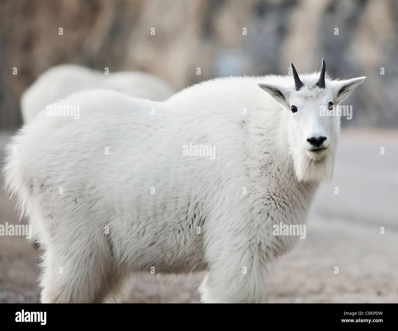 Mountain Goat, Jasper National Park, Alberta, Canada. - Stock Image