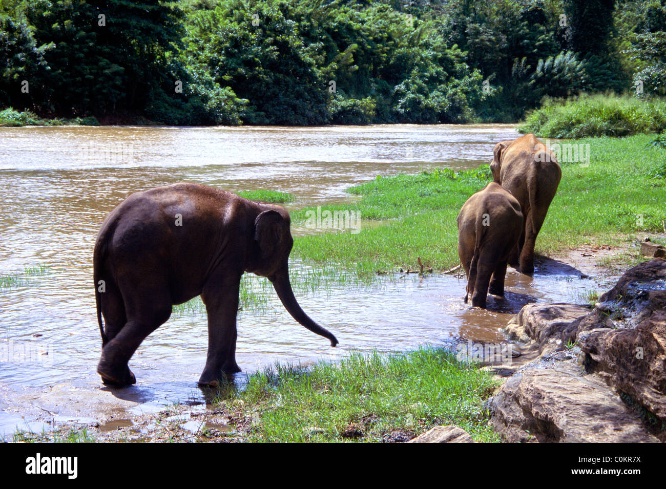 Young Elephants in the river near Pinnawala Elephant Orphanage in Kegalle, Sri Lanka. Stock Photo