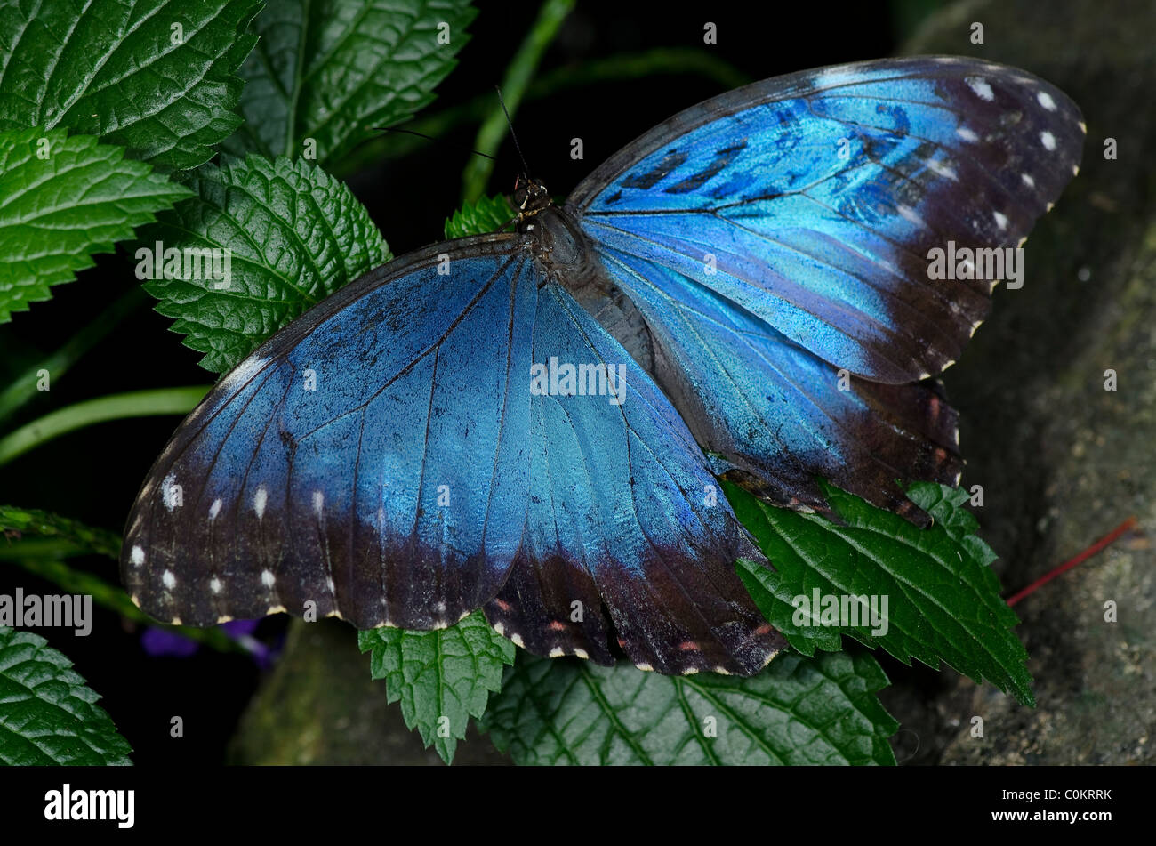 A Common Blue Morpho Butterfly, of the Nymphalidae family - Stock Image
