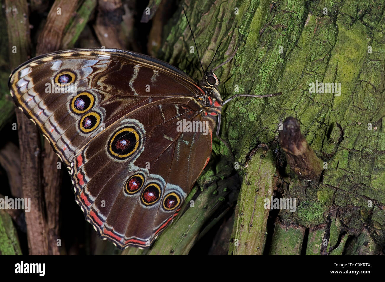 An Owl Butterfly,of the Nymphalidae family, native of South America and Mexico. - Stock Image