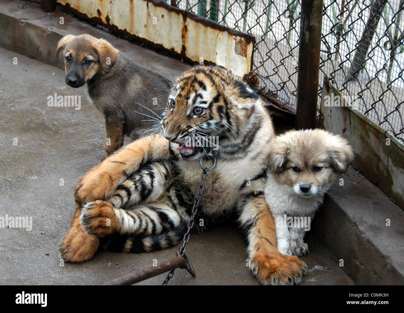 Roar deal for pups a dog is a tigers best friend these cute roar deal for pups a dog is a tigers best friend these cute puppies kept a tiger cub company while he was weaned from birth voltagebd Gallery