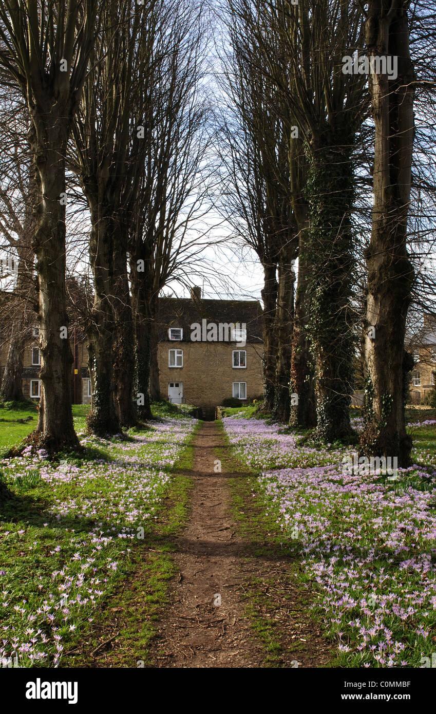 Avenue of lime trees with crocus, Holy Trinity churchyard, Ascott under Wychwood, Oxfordshire, England, UK - Stock Image