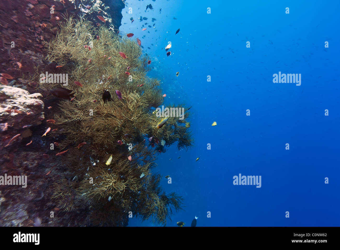Sloping coral wall off the coast of Bunaken island in North Sulawesi, Indonesia - Stock Image