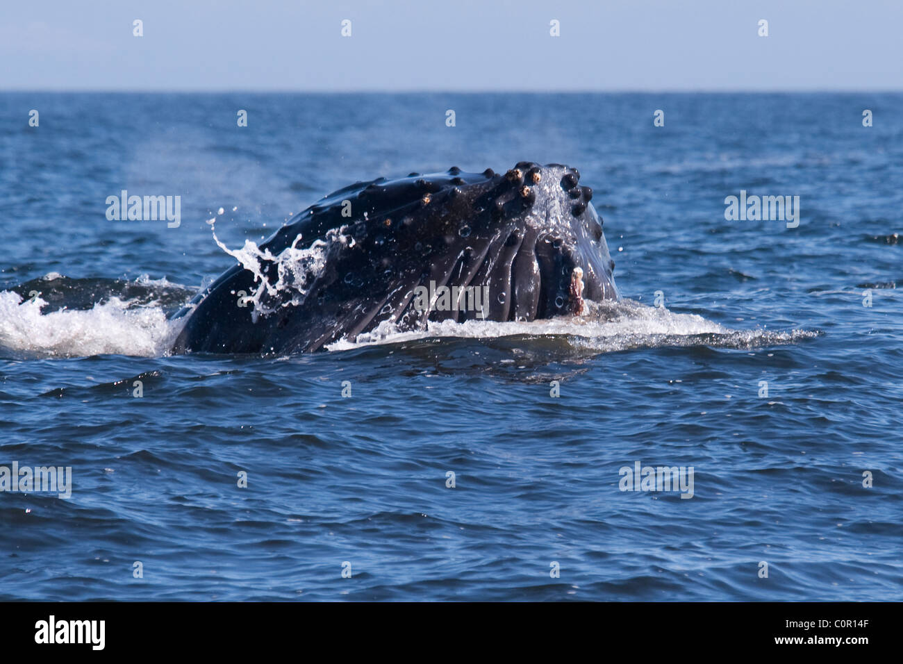 Humpback Whale (Megaptera novaeangliae) adult Whale lunge-feeding on Krill. Monterey, California, Pacific Ocean. - Stock Image