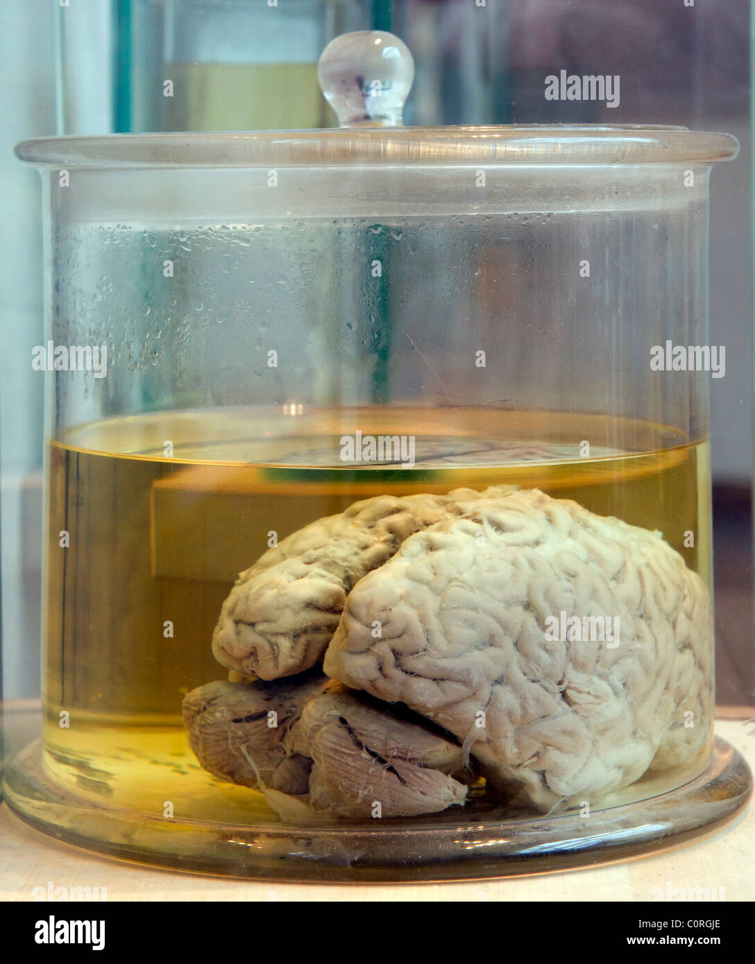 Real human brain in a glass jar - Stock Image