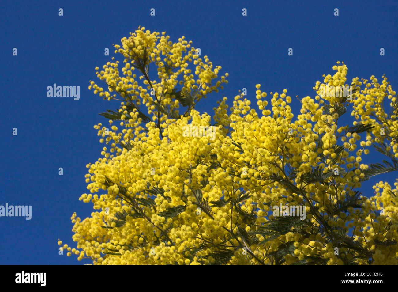 Mimosa tree yellow stock photos mimosa tree yellow stock images yellow flowers of mimosa in blue sky in provence french riviera france stock mightylinksfo