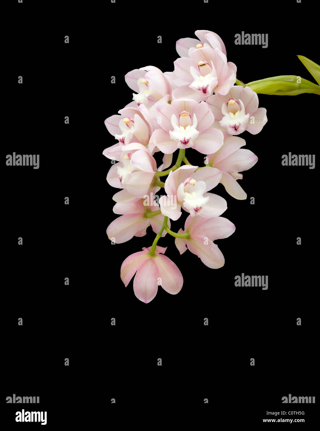 Cymbidium orchids against black background - Stock Image