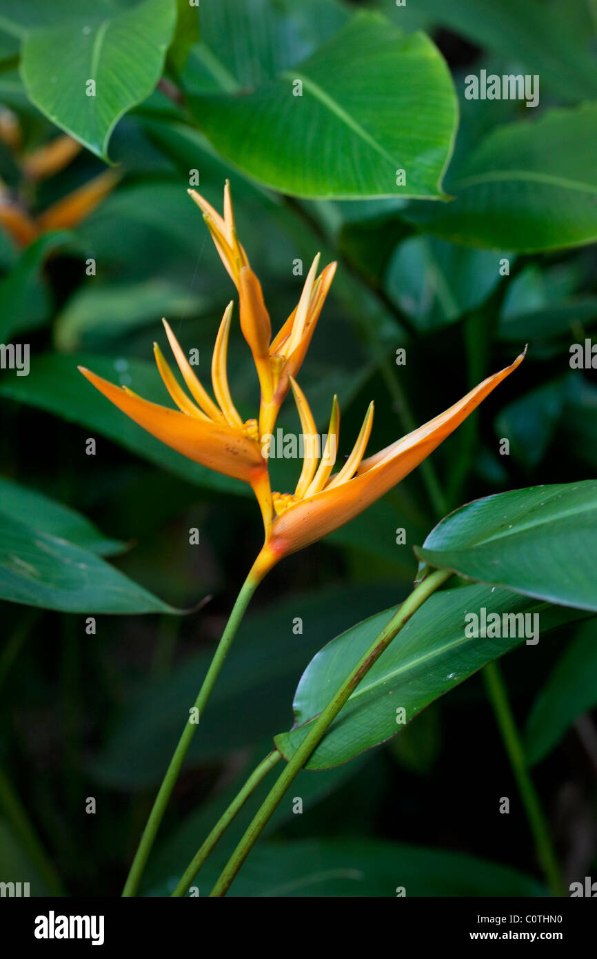 Heliconia, Hawaii - Stock Image