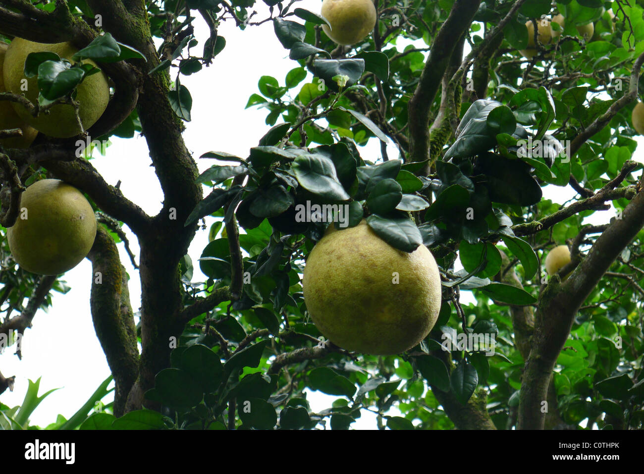 Pomela Fruit tree, Lyon Arboretum, Manoa Vally, Honolulu, Hawaii - Stock Image