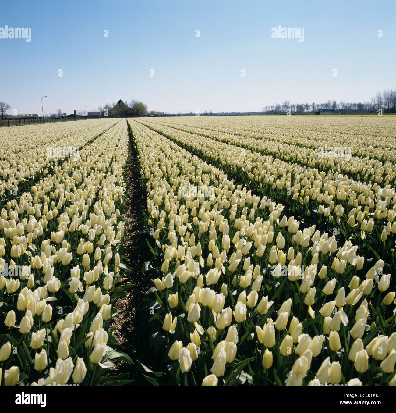 White tulips in a Dutch bulbfield in spring, Holland - Stock Image