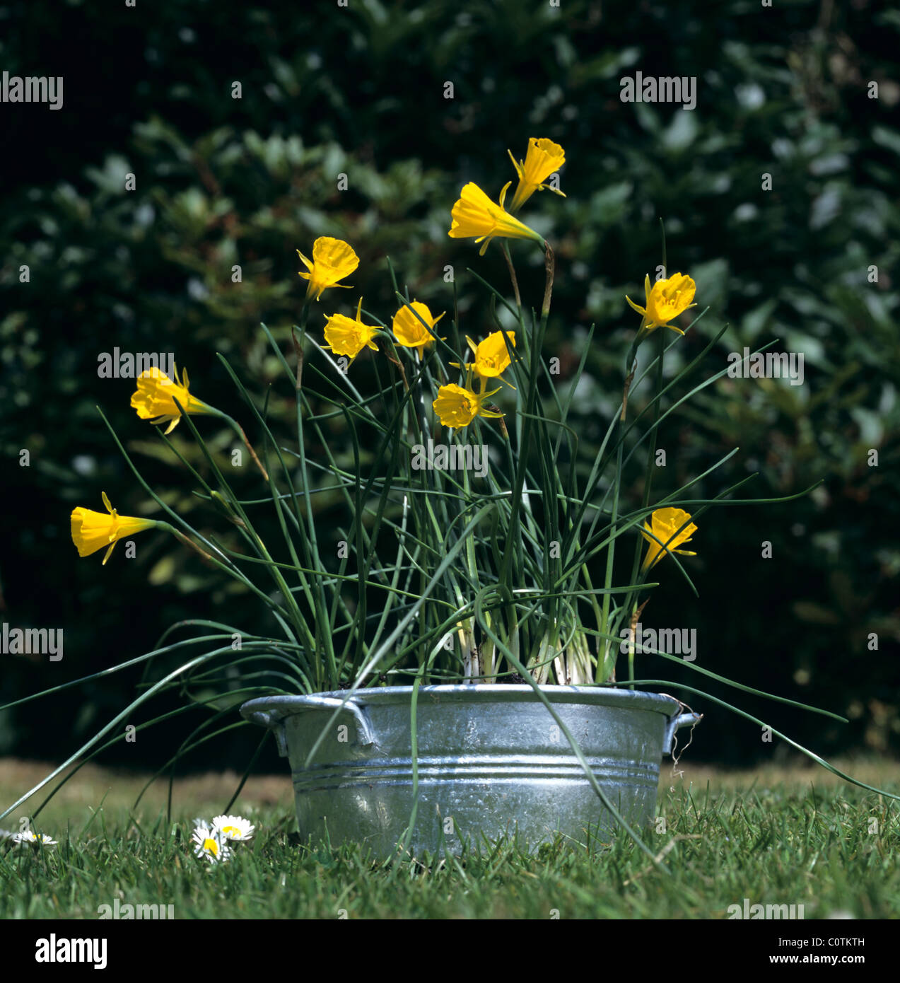 Narcissus bulbocodium flowering in a galvanised container - Stock Image