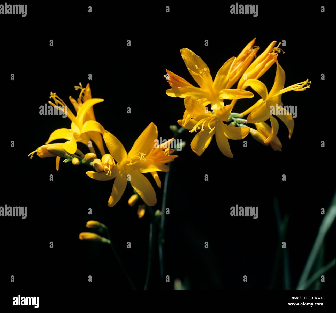 Flower spike of Crocosmia 'Irish Dawn' - Stock Image