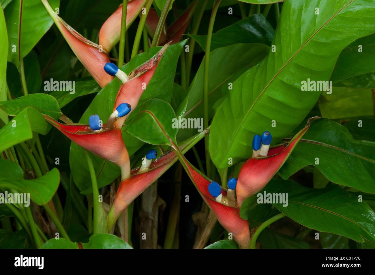 Jamaica Heliconia, Firebird (Heliconia stricta Dwarf Jamaica), flowering. Stock Photo