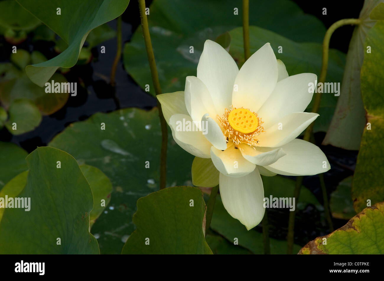 American Lotus Yellow Lotus Nelumbo Lutea Flower Stock Photo