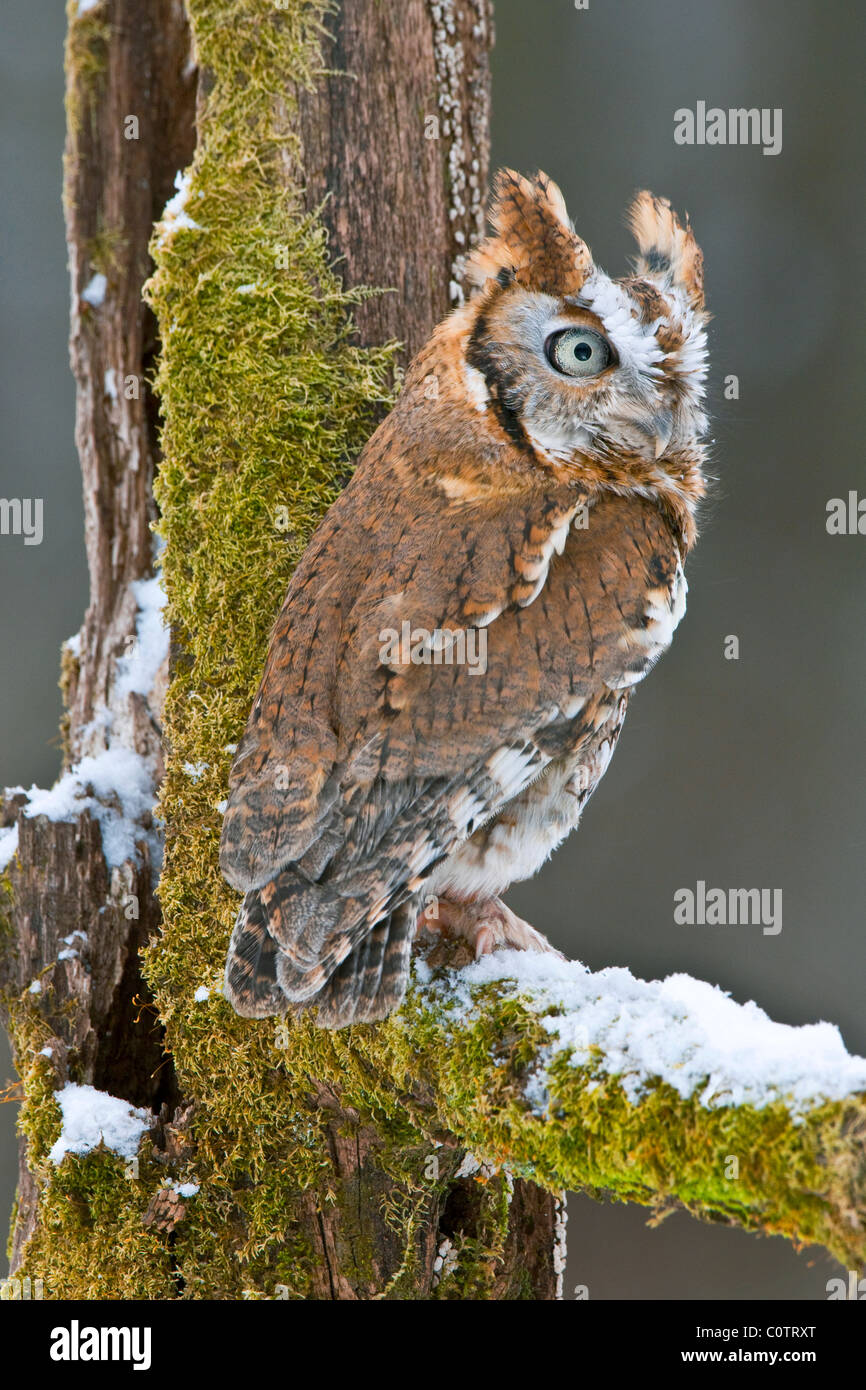 Common Screech Owl Otus asio Rufous or Red color phase Eastern North America - Stock Image