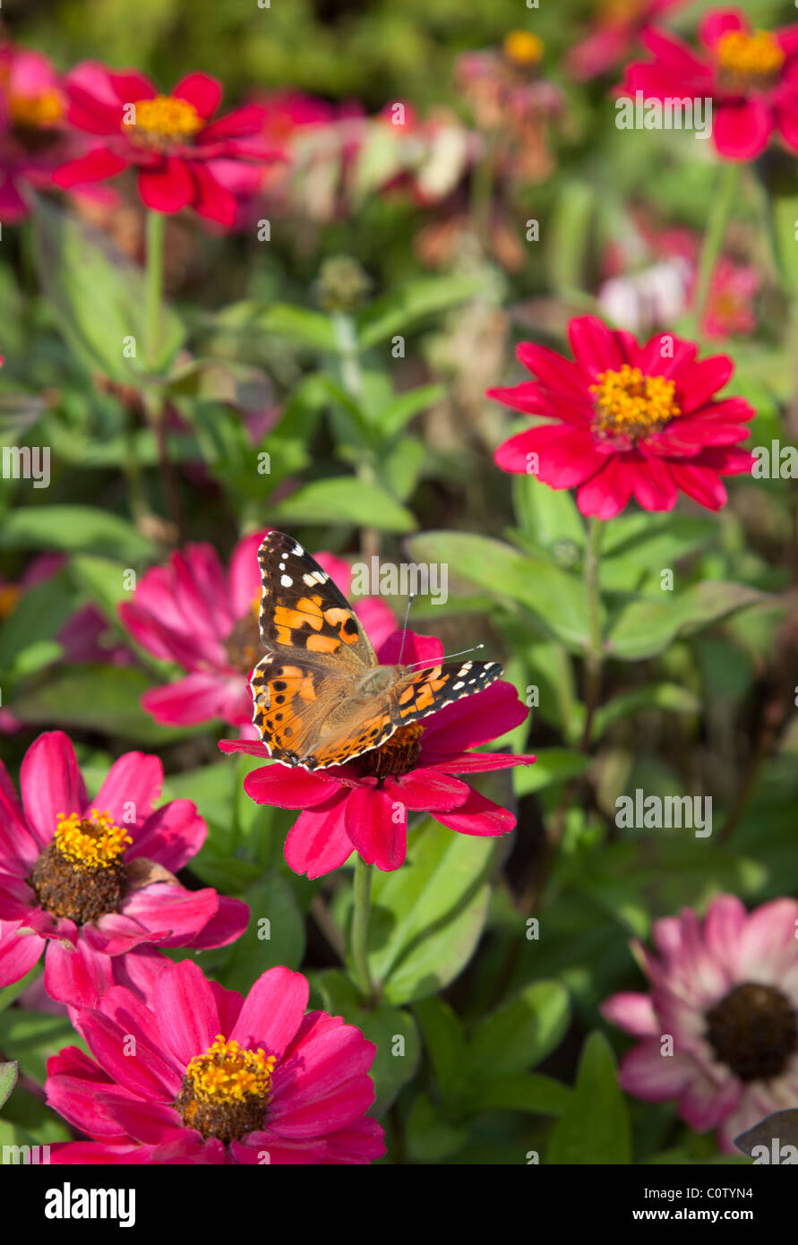 Painted Lady ( Vanessa cardui , Nymphalidae ) butterfly sucking nectar from red flowers - Stock Image