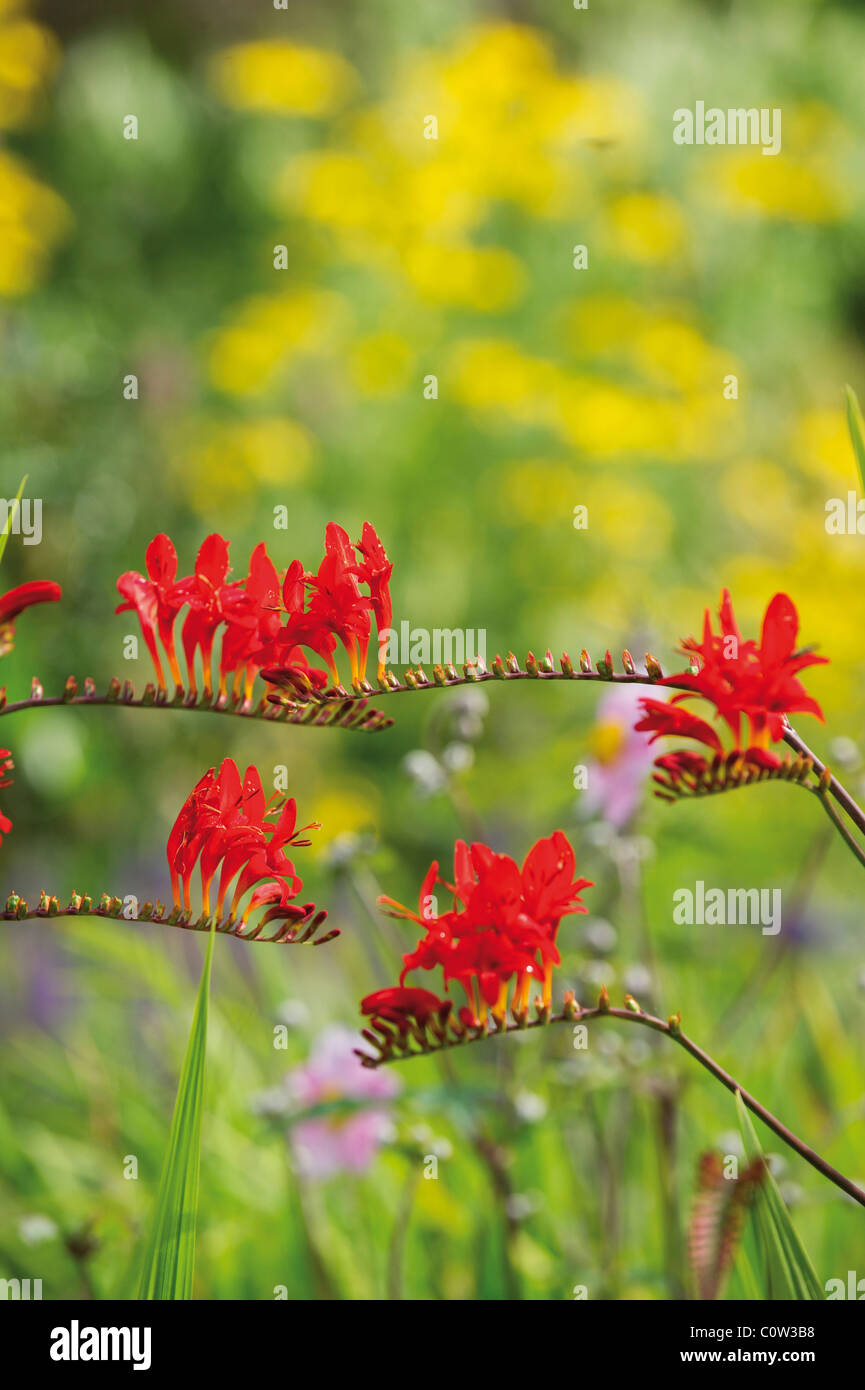 Beautiful Crocosmia Lucifer plant Stock Photo