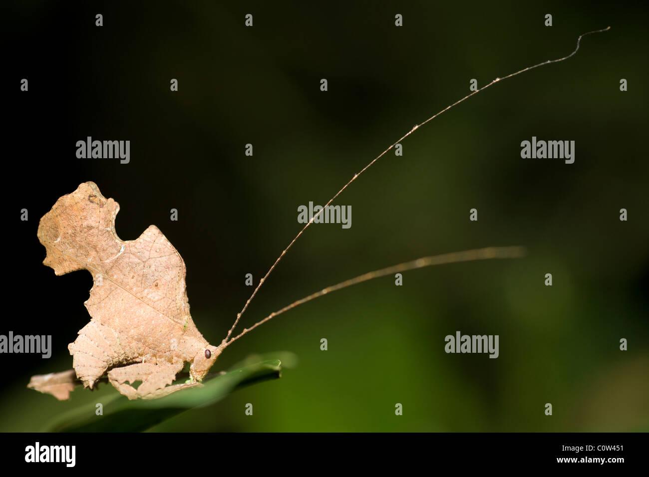 Leaf Mimic Katydid - La Selva Jungle Lodge, Amazon Region, Ecuador - Stock Image