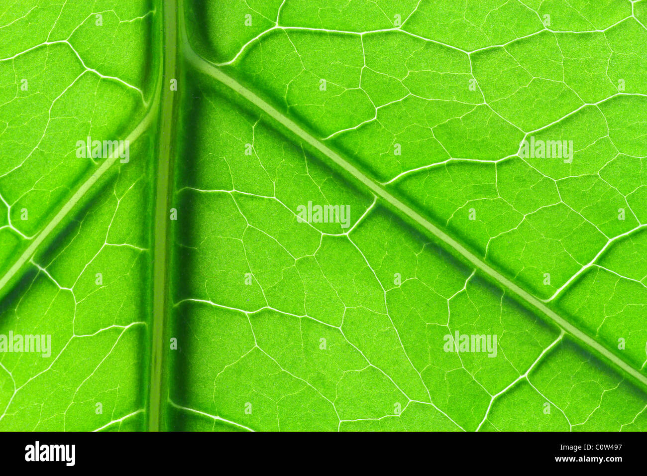 Green leaf background showing vein structure - Stock Image