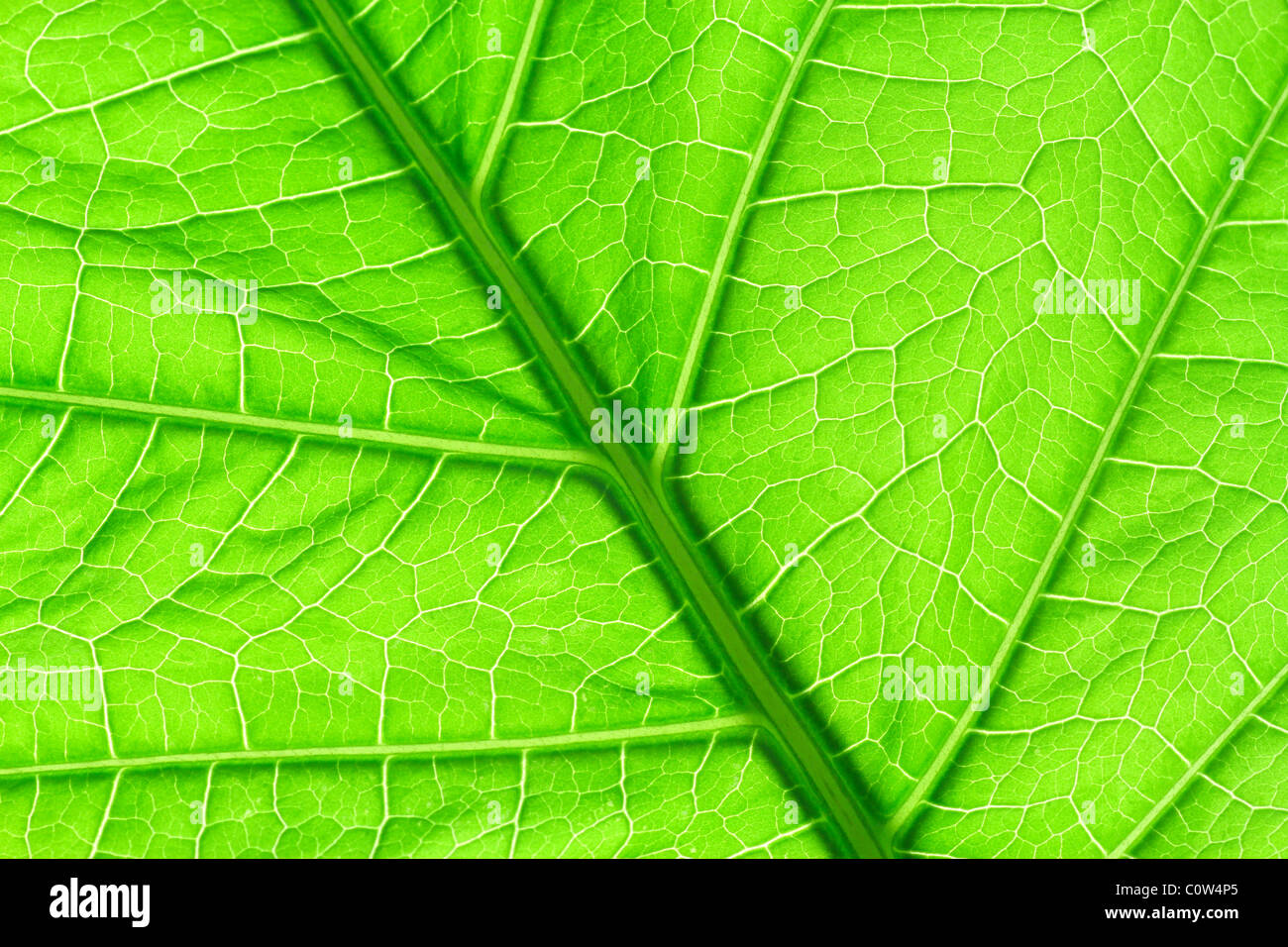 Green leaf detail showing veins and cells - Stock Image