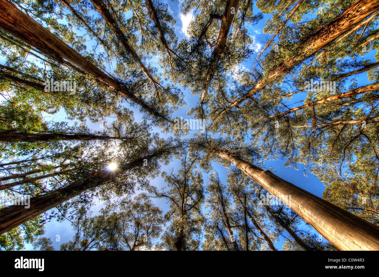 The eucalyptus trees of Sherbrooke Forest, Dandenongs, Victoria Australia Stock Photo