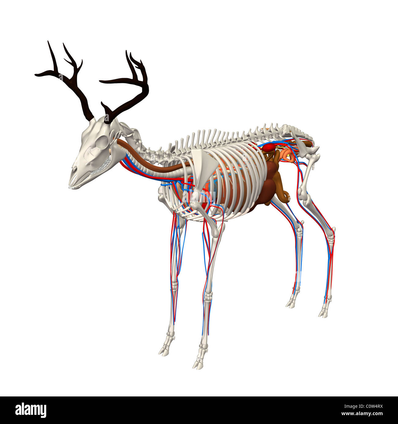 Body Deer Stock Photos & Body Deer Stock Images - Alamy