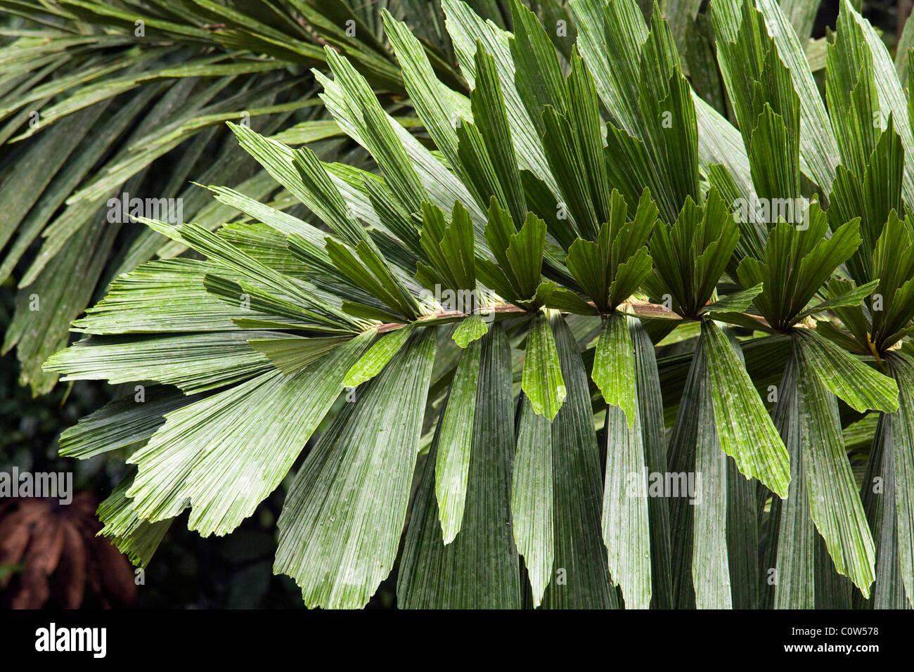 Palm Leaves - La Selva Jungle Lodge, Amazon Region, Ecuador - Stock Image