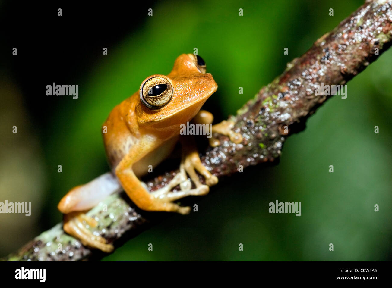 Tree Frog - La Selva Jungle Lodge, Amazon Region, Ecuador - Stock Image