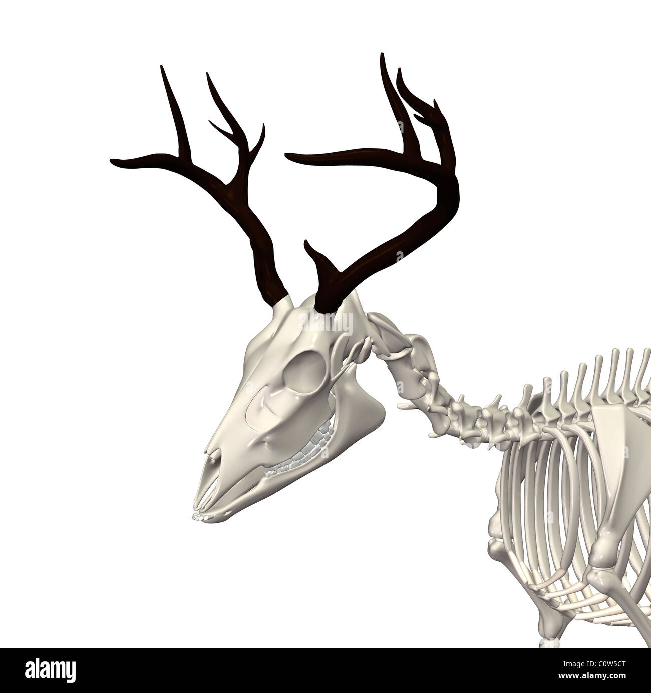 deer anatomy skeleton Stock Photo: 34973816 - Alamy