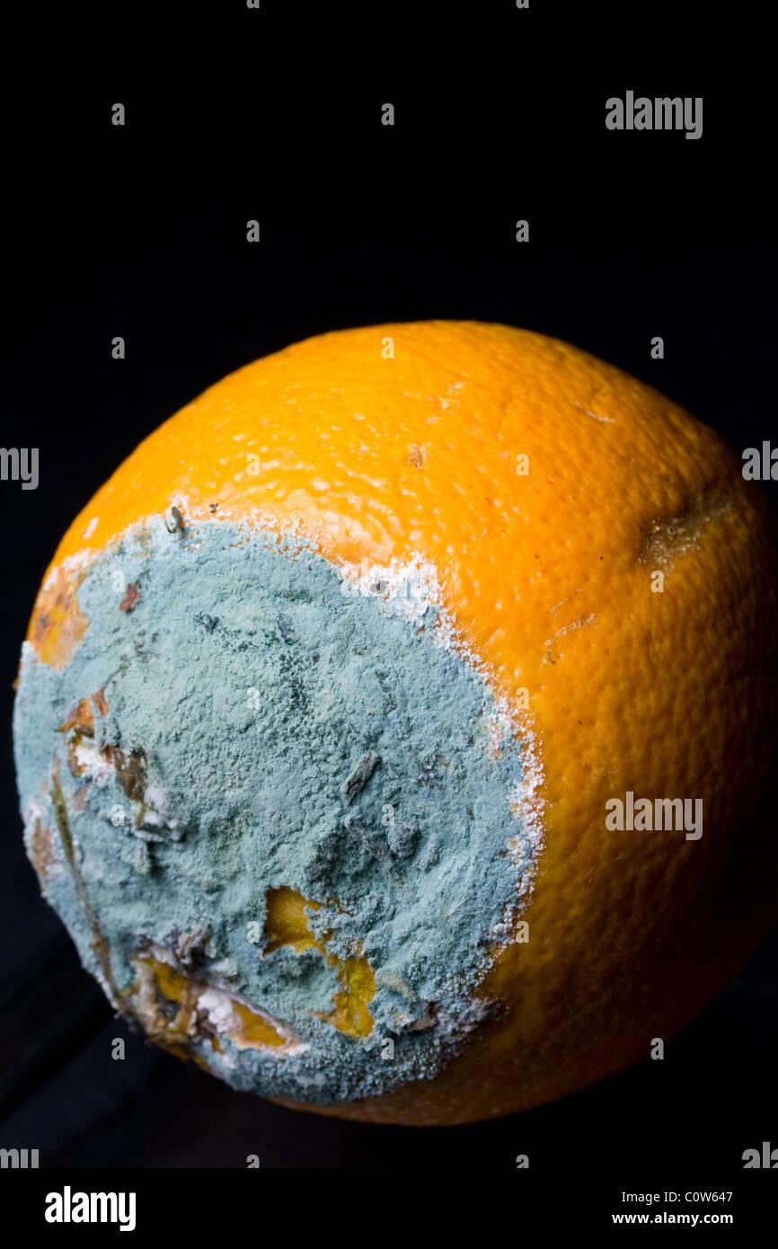 Green Mold Growing on Spoiled Orange - Stock Image