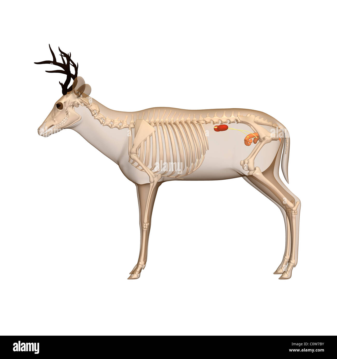 deer anatomy urinary transparent body Stock Photo: 34975359 - Alamy