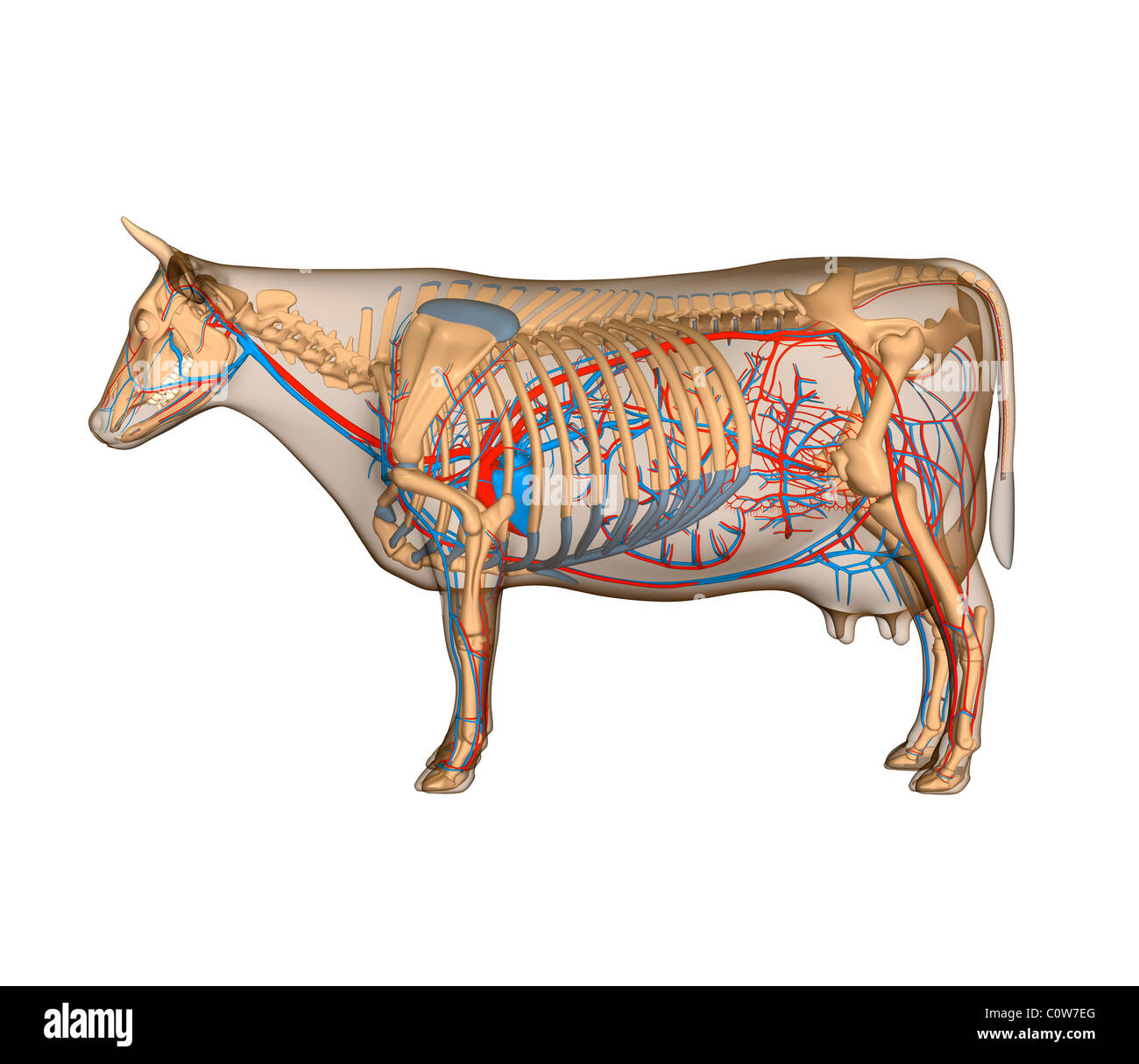 Anatomy of the cow circulary heart circulation Stock Photo: 34975432 ...