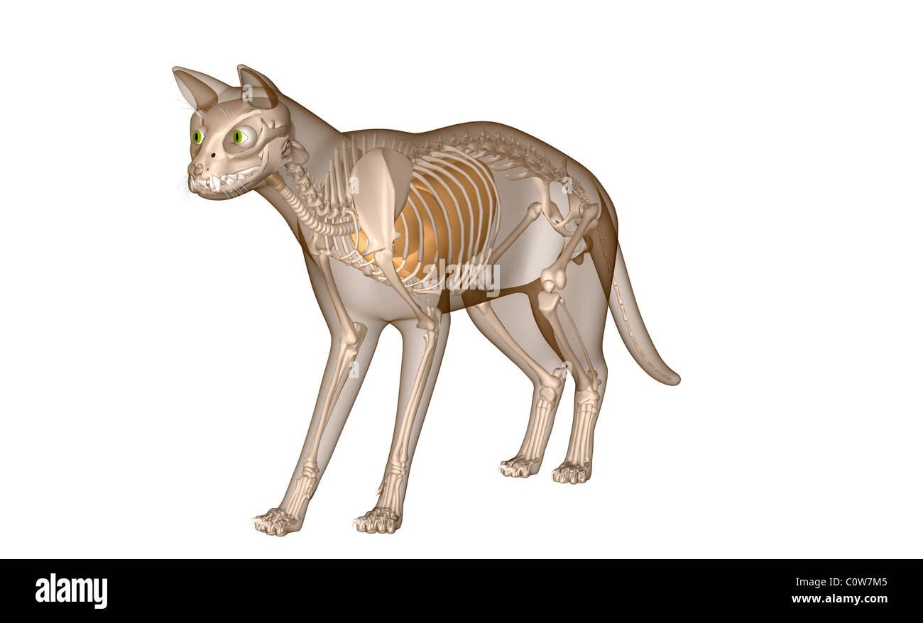 Anatomy of the cat respiratory lungs skeleton Stock Photo: 34975589 ...