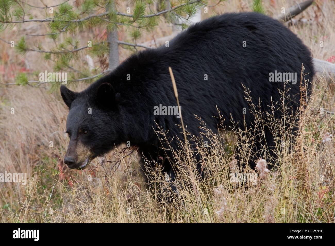 Black Bear - Oak woodland - Stock Image