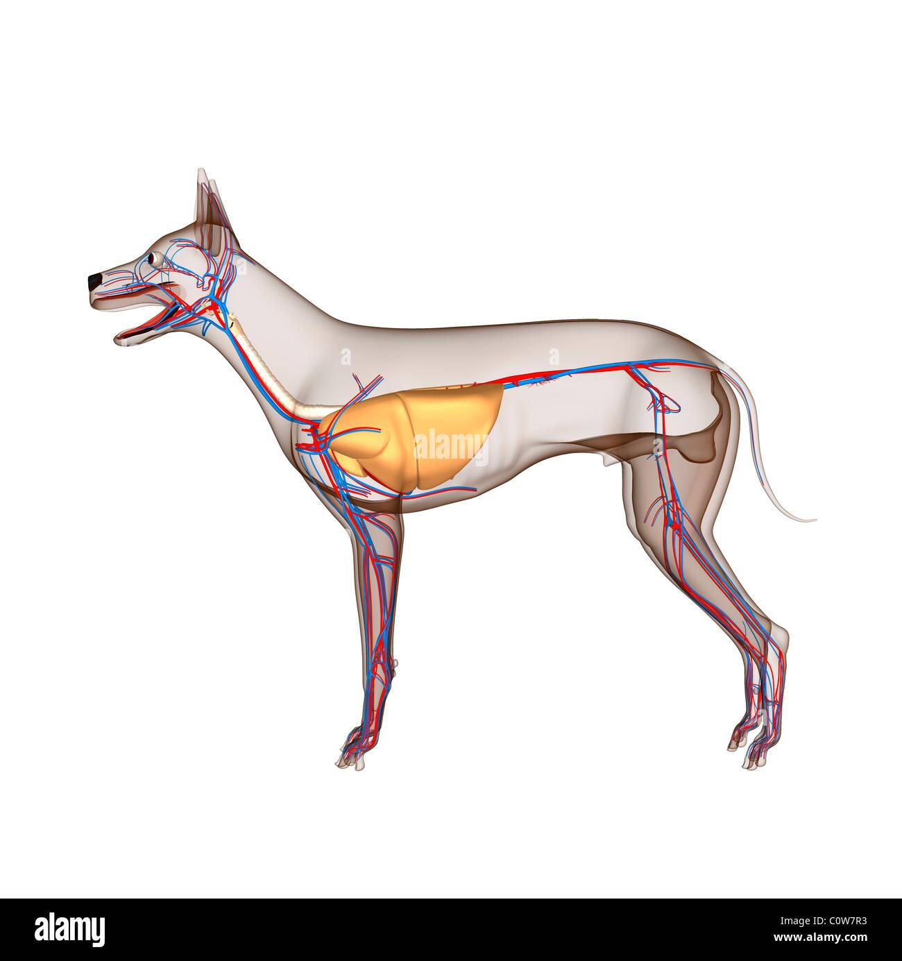 dog anatomy heart circulation respiratory with transparent body ...