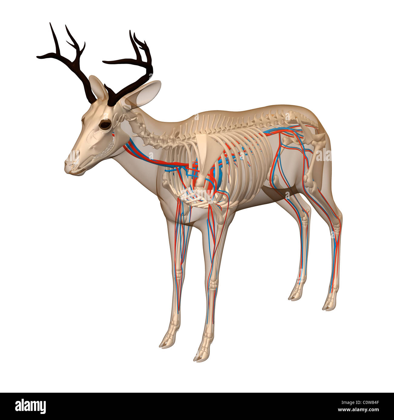 Anatomy Deer Cut Out Stock Images & Pictures - Alamy