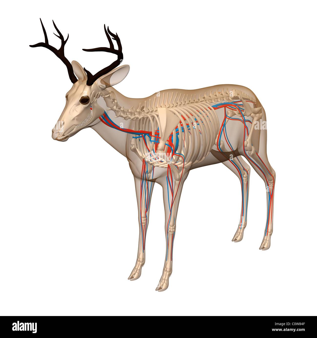 Gro Mule Deer Anatomie Galerie Menschliche Anatomie Bilder