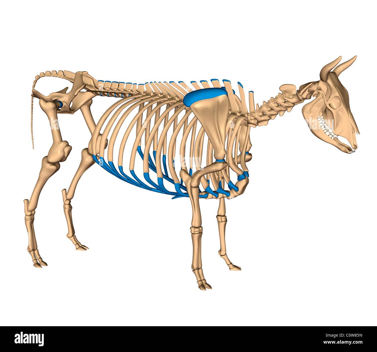 Anatomy Of The Cow Skeleton Stock Photo 34975969 Alamy