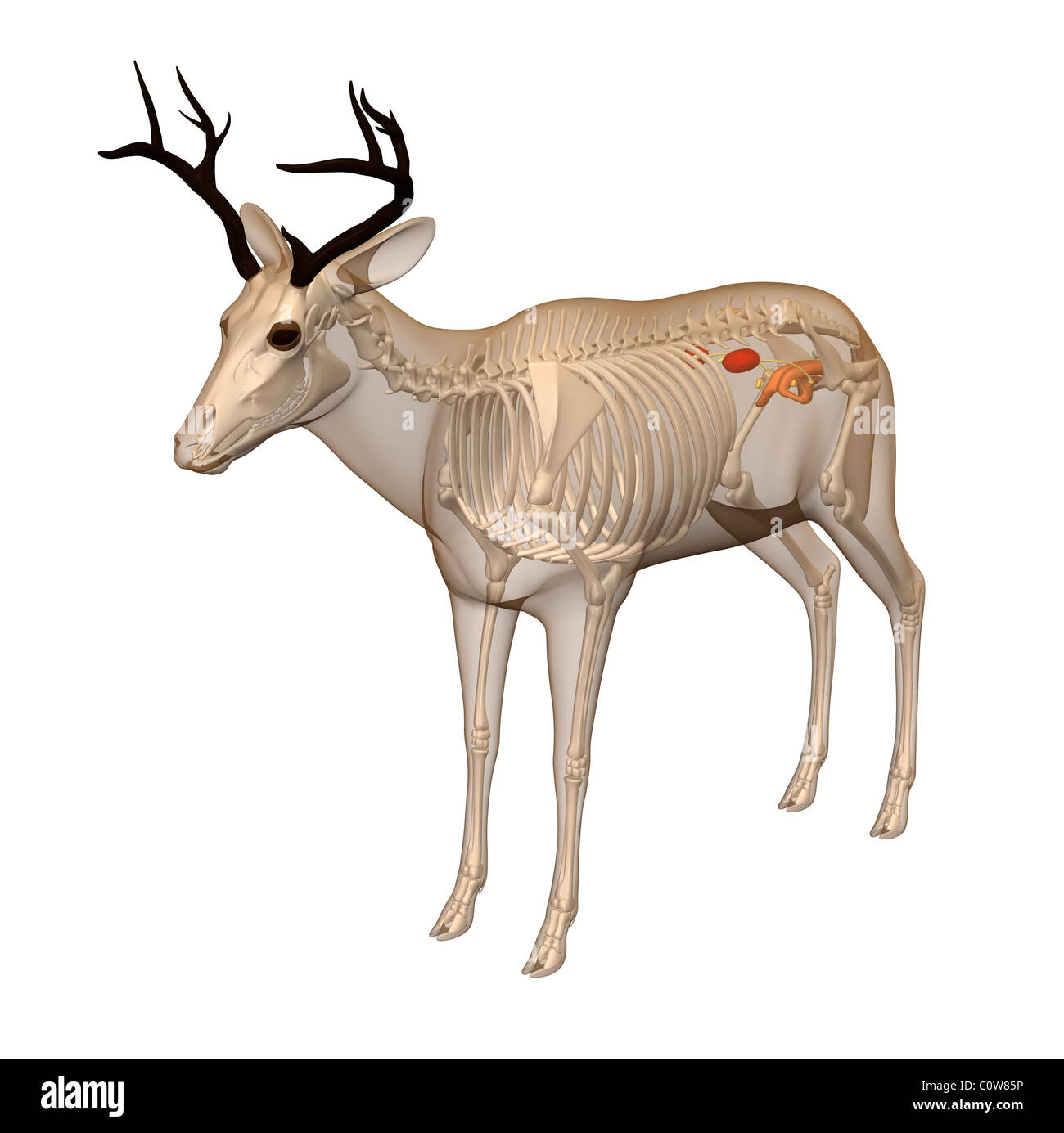 deer anatomy urinary transparent body - Stock Image