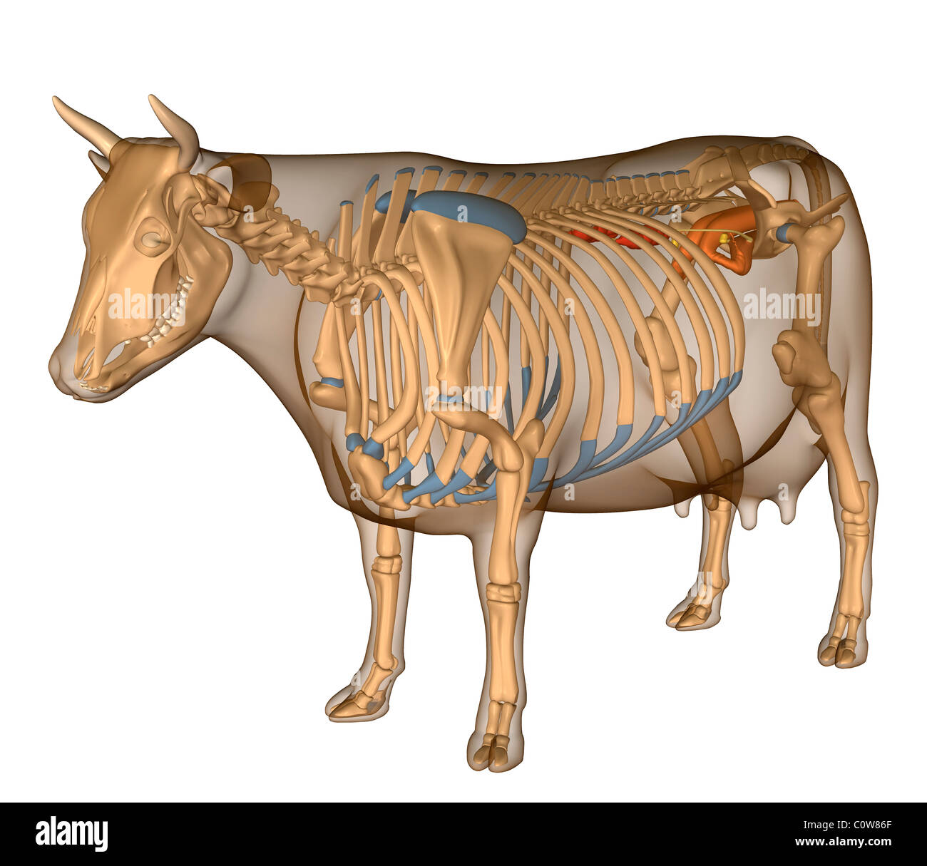 Anatomy of the cow reproduction - Stock Image