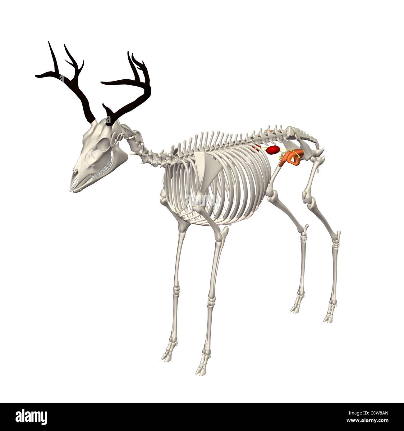 deer anatomy urinary skeleton transparent body - Stock Image