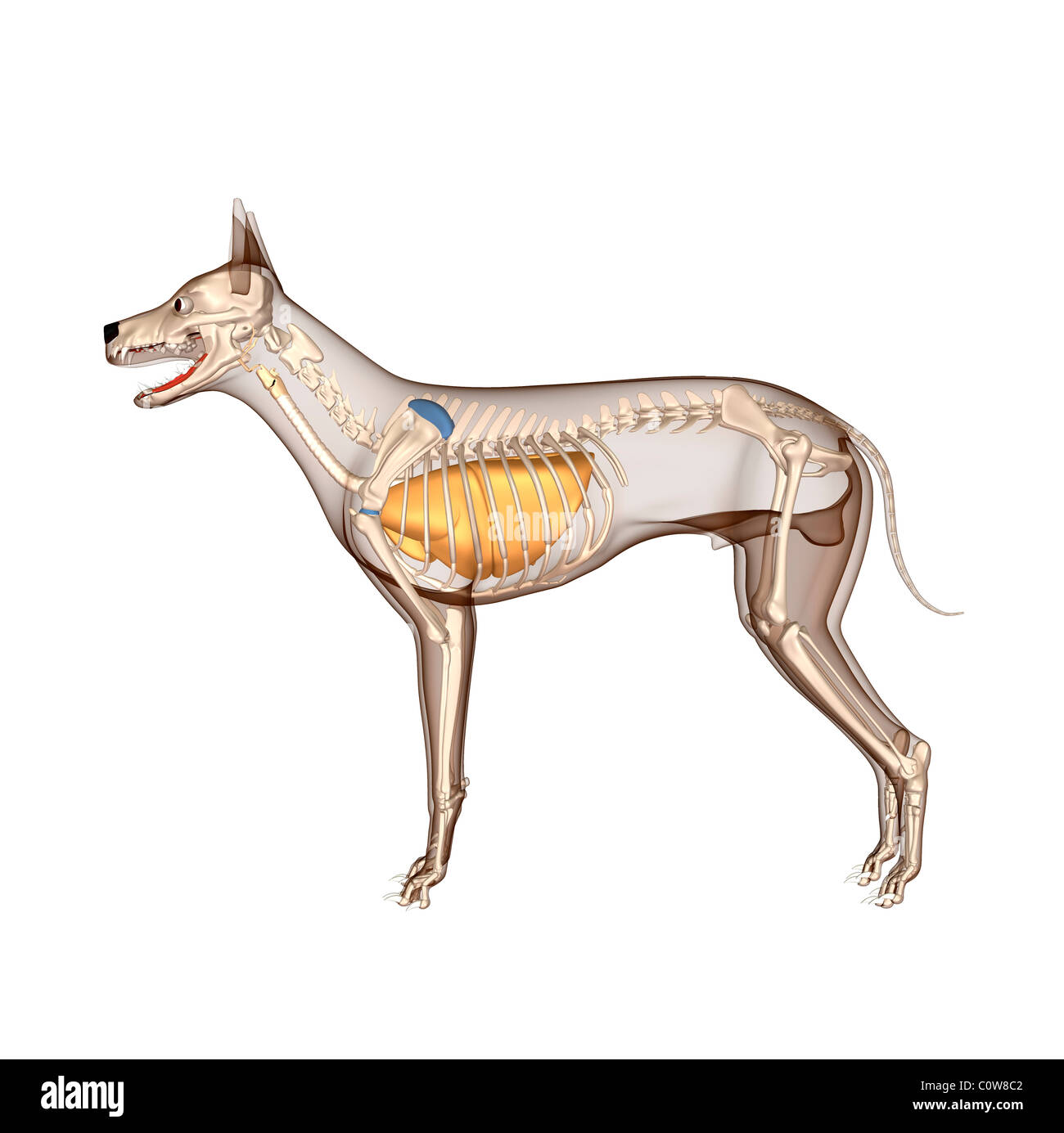 Dog Skeleton Canis Lupus Familiaris Stock Photos & Dog Skeleton ...