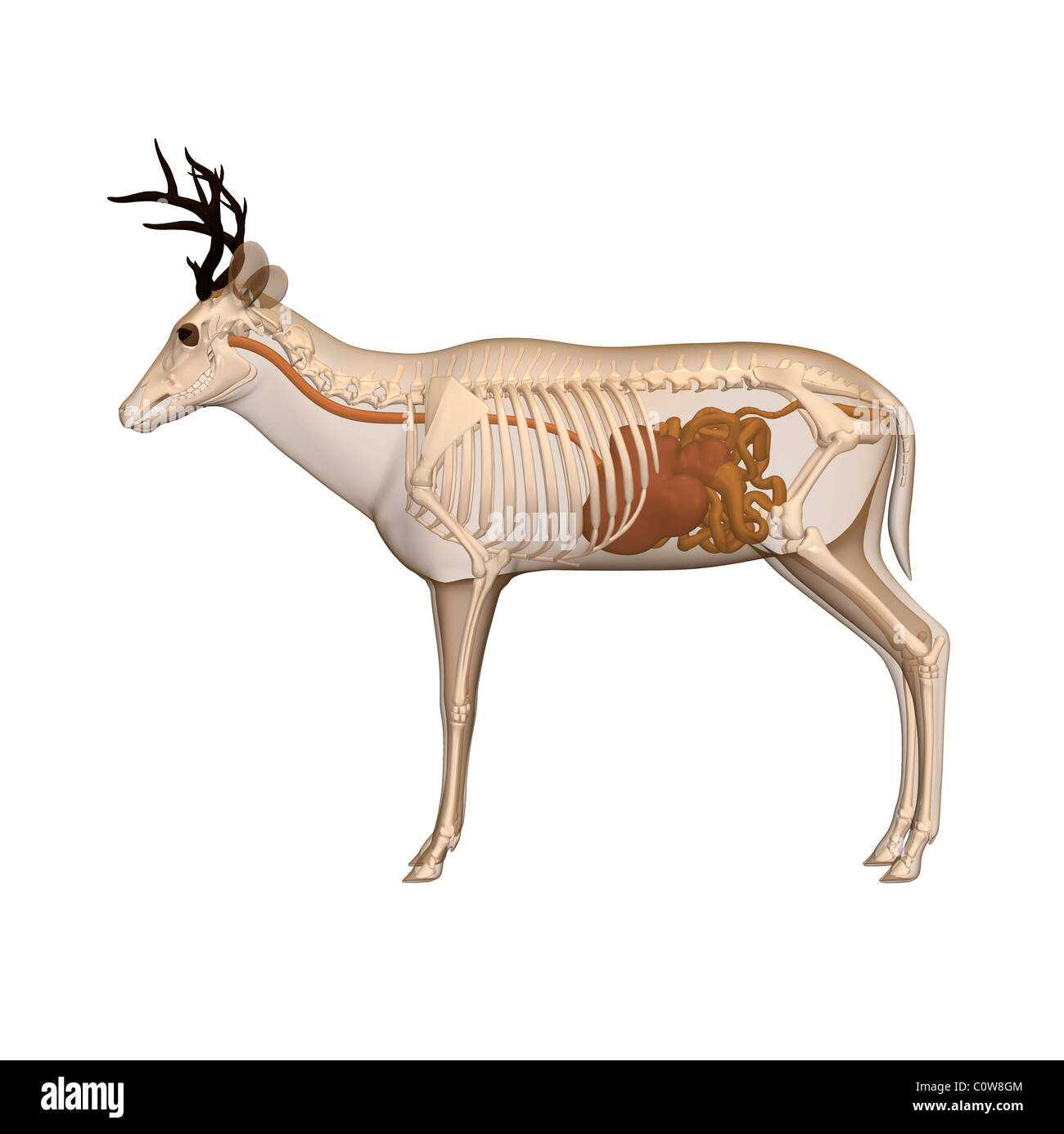 deer anatomy digestion stomach transparent body Stock Photo ...