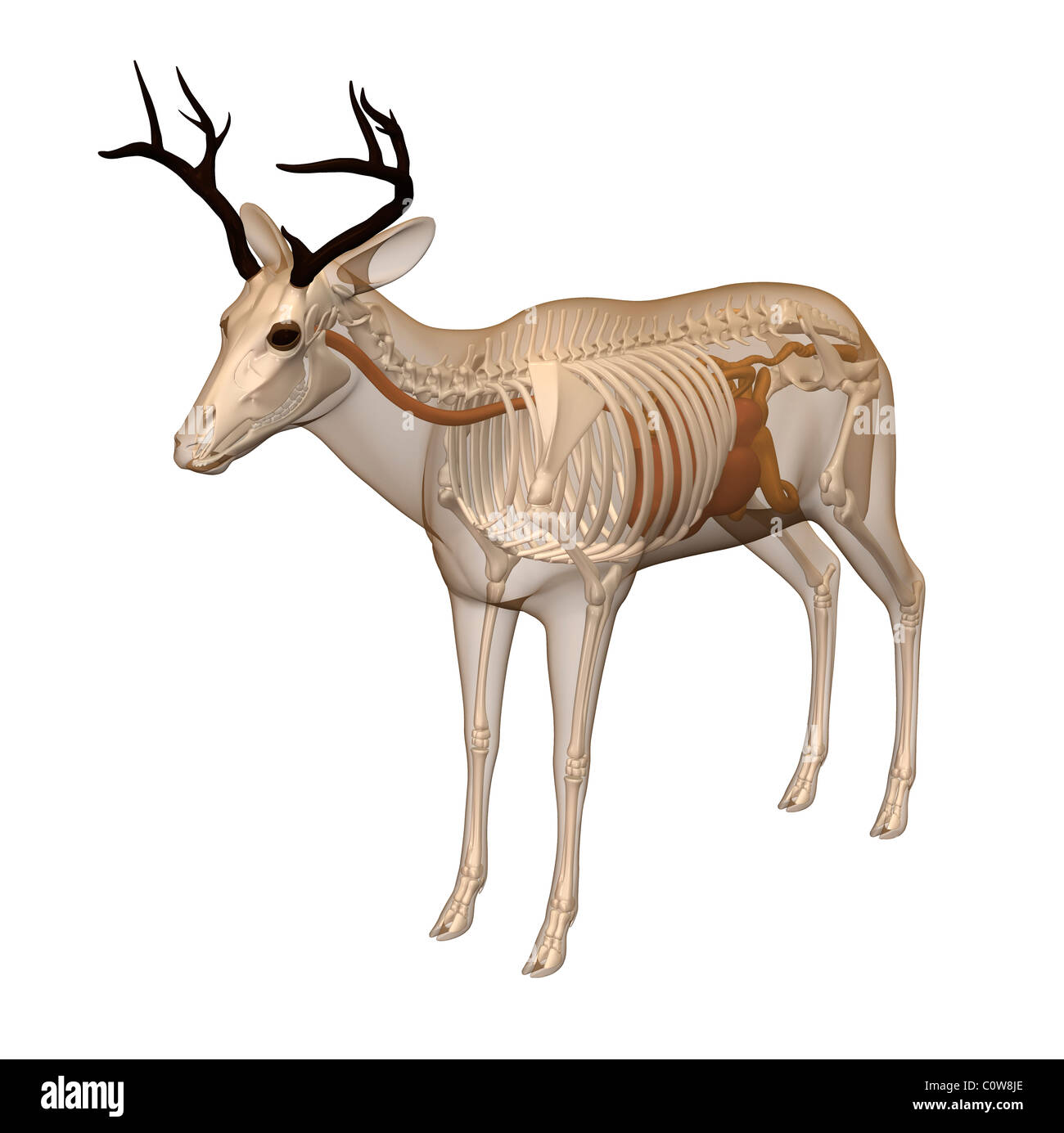 deer anatomy digestion skeleton transparent body Stock Photo ...
