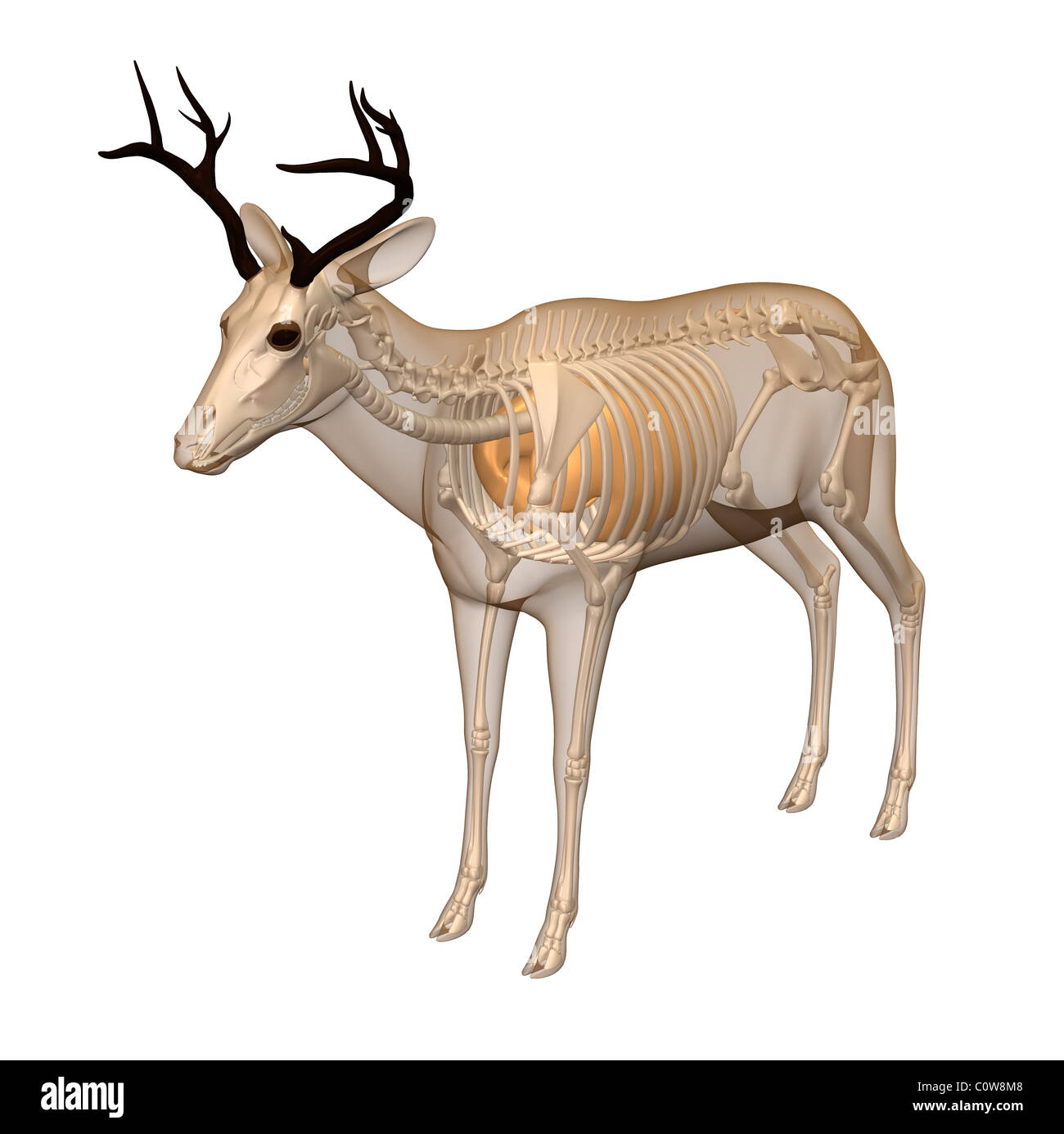 deer anatomy respiratory lungs transparent body Stock Photo ...